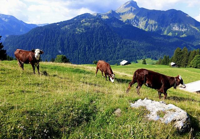 Nature France, Alps, Haute Savoie, Prairie, Cow