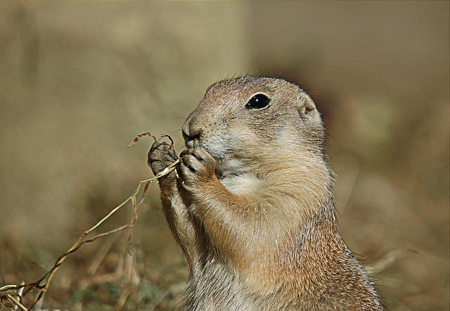 Prairie Dog, Rodent, Animal, Black-tailed Prairie Dog