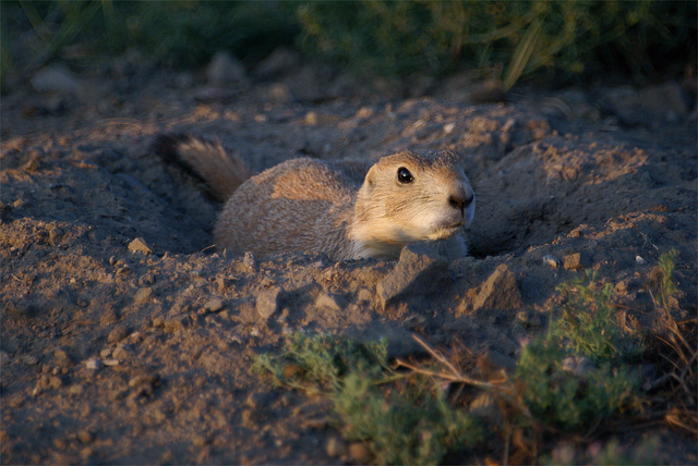 Prairie Dog, Animal, Burrowing