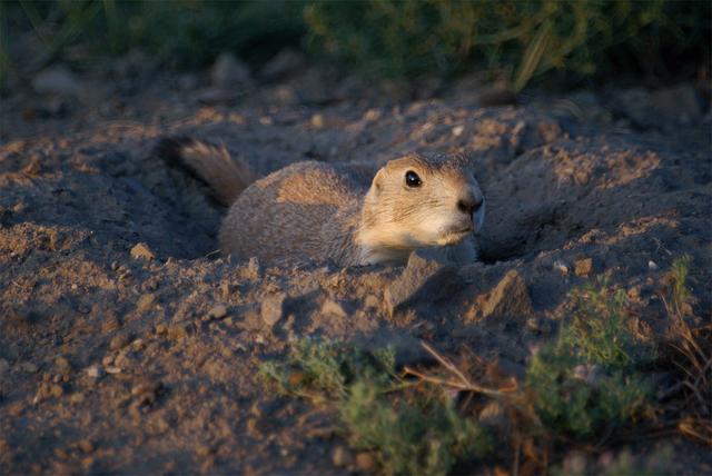 Prairie Dog, Animal, Burrowing
