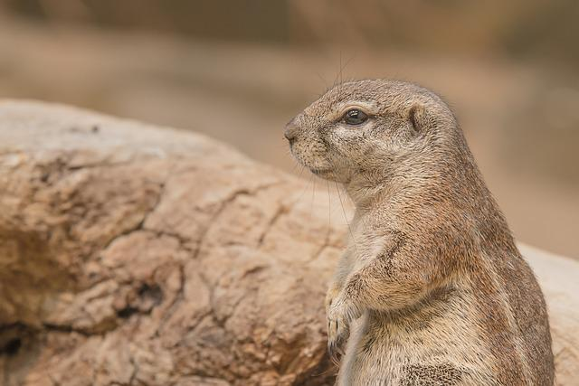 Gophers, Rodent, Animal, Prairie Dog, Coypu, Nager
