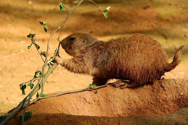Cynomys Ludovicianus, Cynomys, Prairie Dogs, Rodent