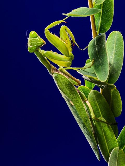 Praying Mantis, Fishing Locust, Mantis Religiosa, Green