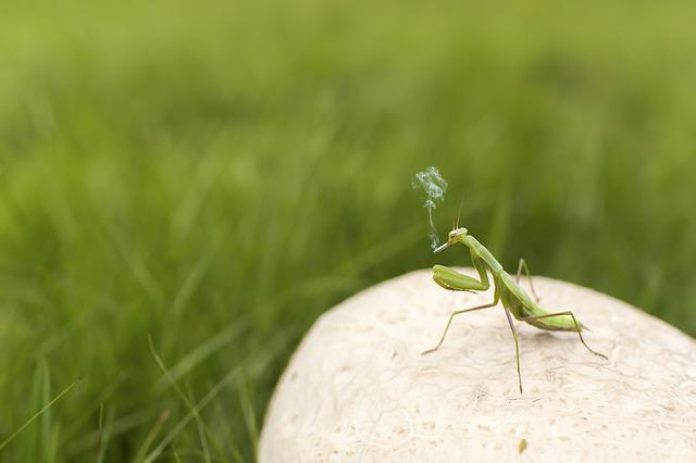 Praying Mantis, Insect, Green, Smoker, Smoking, Fun