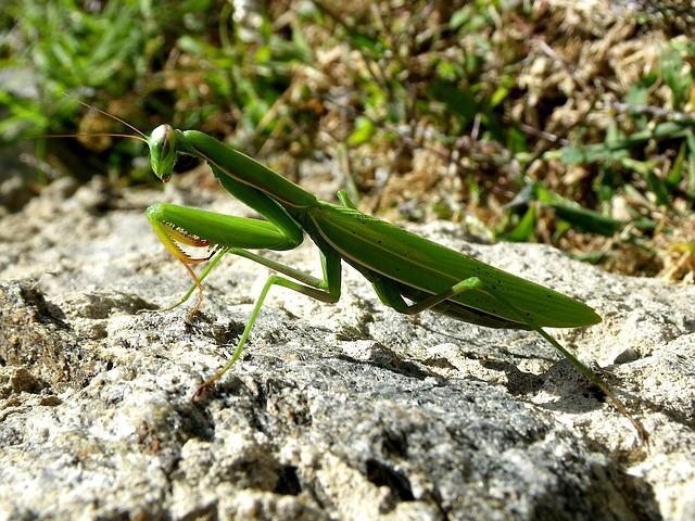 Praying Mantis, Mantodea, Close