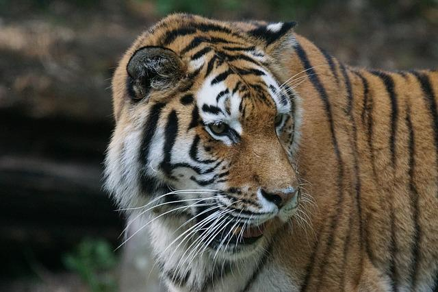 Tiger, Amurtiger, Predator, Cat, Carnivores, Siberian