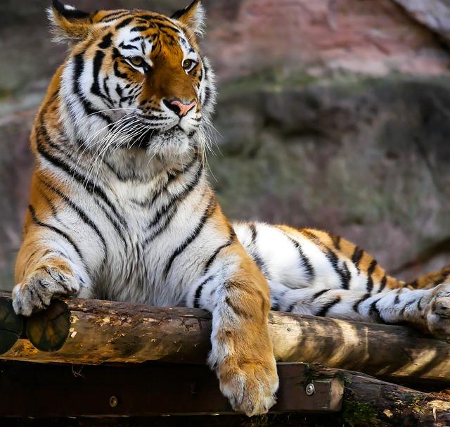 Animal, Tiger, Predator, Cat, Attention