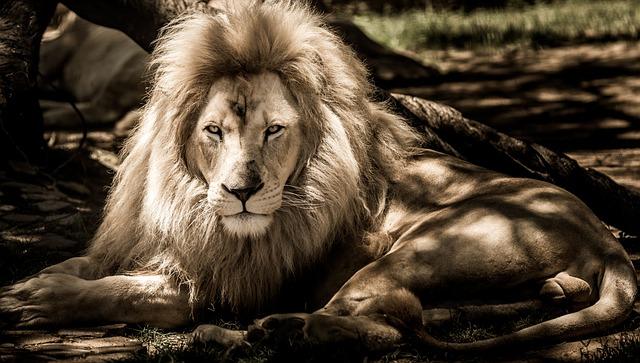 Lion, Animal, Mane, Big Cat, Mammal, Male, Predator