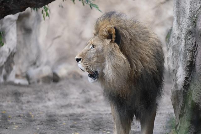 Cat, Lion, Roar, Big Cat, Male, Predator, Animal, Mane