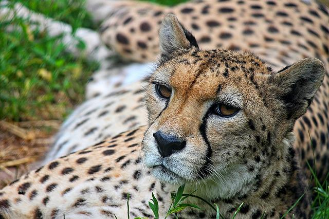 Cheetah, Close Up, Predator, Big Cat, Wild Animal