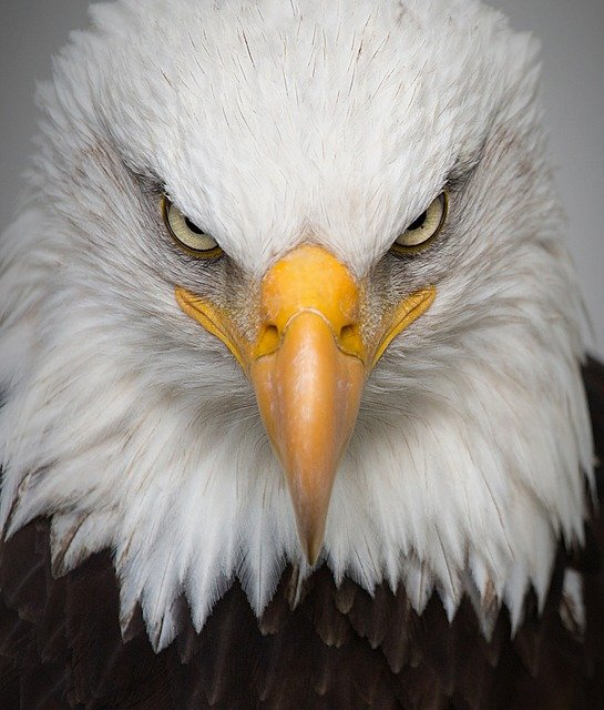 Eagle, Portrait, Wild, Bird, Nature, Predator, Closeup
