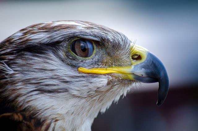 Bird, Falcon, Nature, Beak, Predator