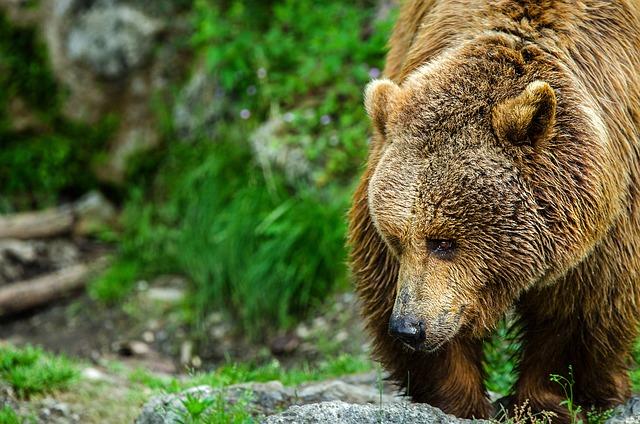 Bear, Brown Bear, Predator, Mammal, Fur, Brown