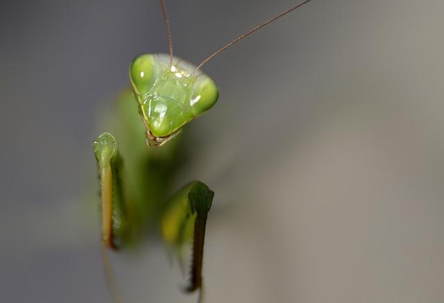 Insect, Mantis Religiosa, Predator, Macro, Green, Bugs