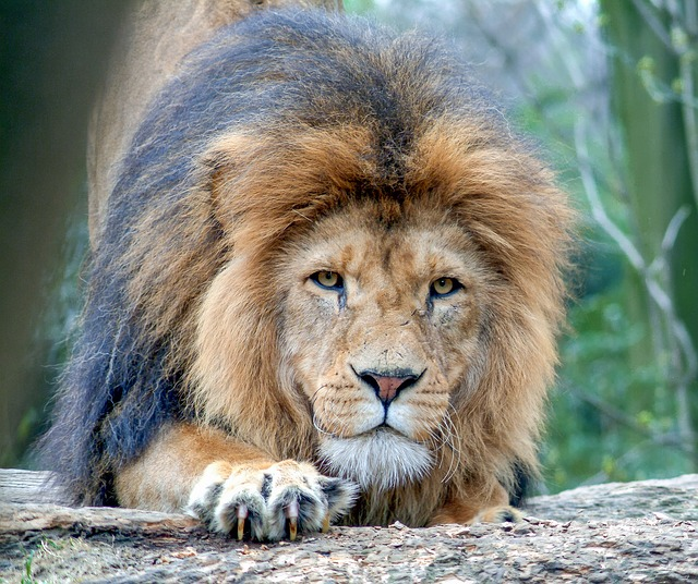 Lion, Animal, Big Cat, Zoo, Cat, Wild Animals, Predator