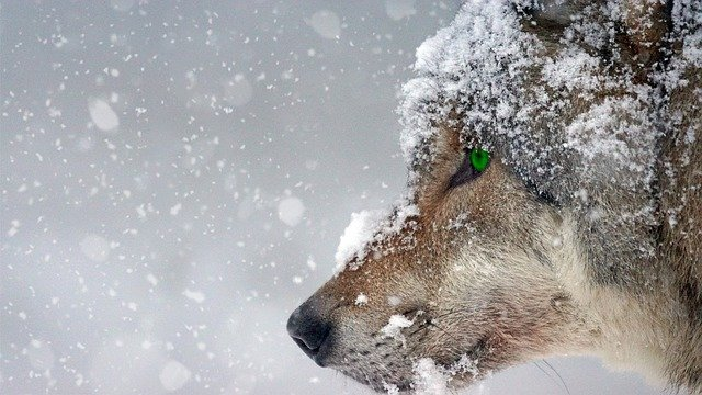 Wolf, Snow, Cold, Eye, Green, Piercing, Predator