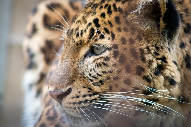 Donations Keeps Me Going, Predator, Cat, Leopard