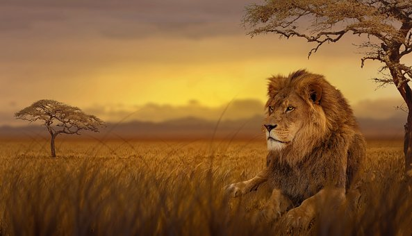 Lion, Savannah, Nature, Predator, Dusk, Steppe, Cat