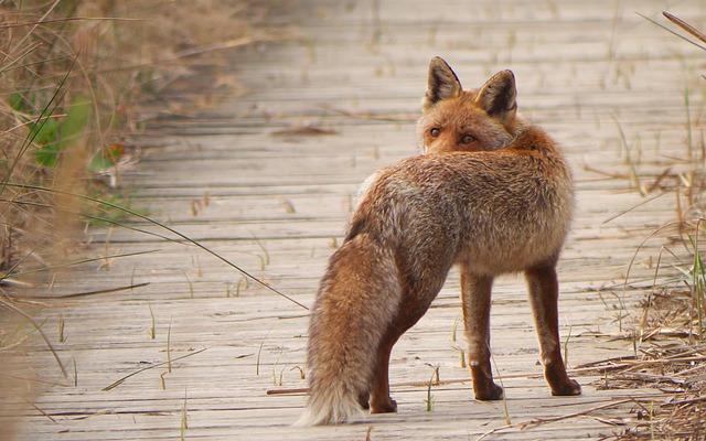 Fauna, Predator, Fox