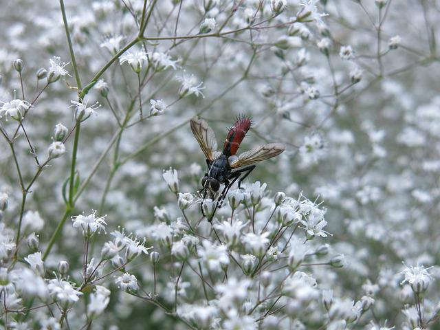 Predator Fly, Fly, Cylindroma Bicolor, Insect