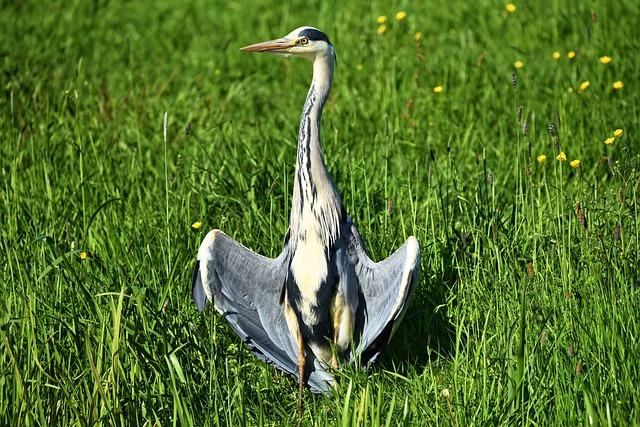 Grey Heron, Heron, Wading Bird, Bird, Predator