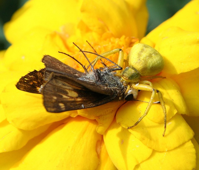 Flower Crab Spider, Genus Misumena, Hunter, Predator