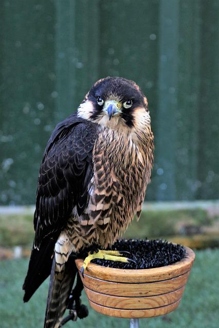 Peregrine, Falcon, Bird, Raptor, Predator, Hunting