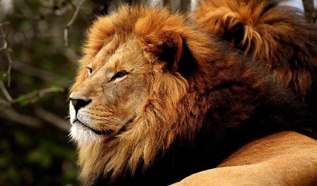 Lion, Predator, Dangerous, Mane, Cat, Male, Zoo