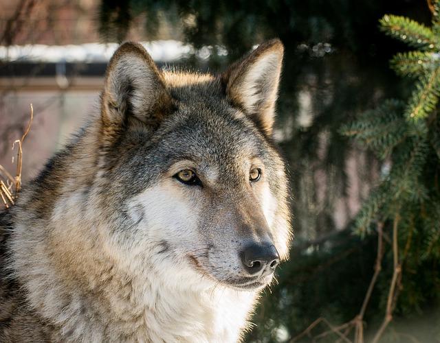 Wolf, Living Nature, Carnivorous, Mammals, Predator