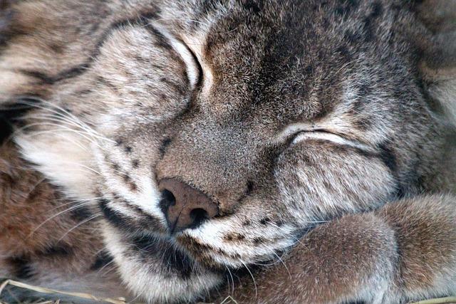 Lynx, Lynx Lynx, Wild Cat, Wild Beast, Predator, Danger