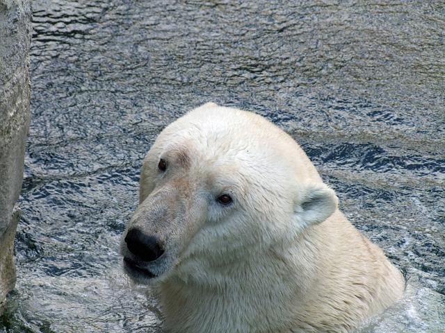 Polar Bear Of Ursus Maritimus, Predator, Mammal, Animal