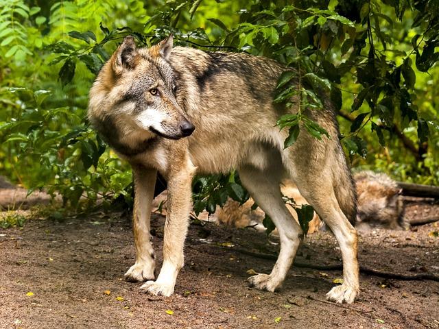 Wolf, Animal, Mammal, Predator, Nature