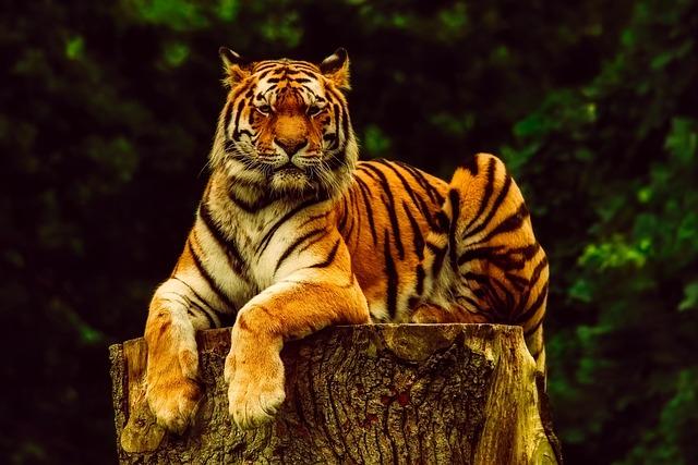 Tiger, Animal, Wildlife, Portrait, Predator, Nature