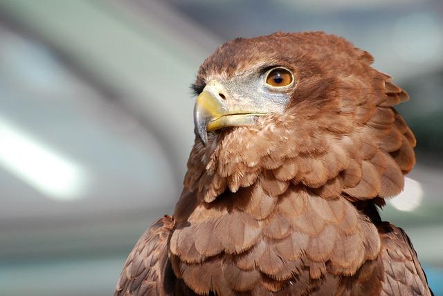 Eagle, Raptor, Bird Of Prey, Predator, Falconry