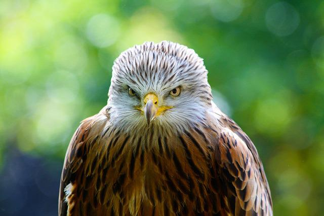 Red Kite, Hawk, Bird, Predator, Wildlife, Avian