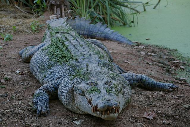 Animal, Crocodile, Wild, Predator, Reptile, Teeth