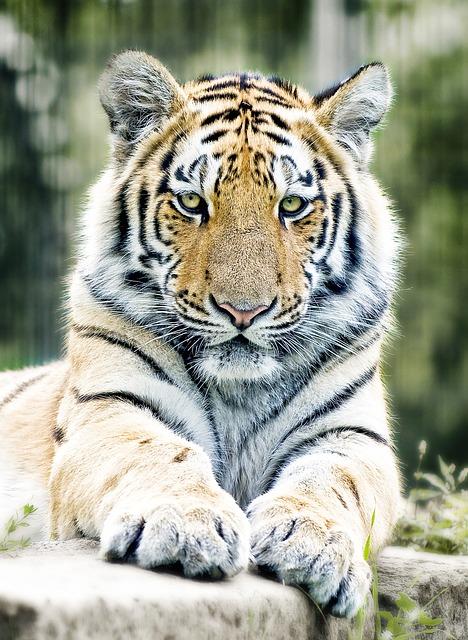 Tiger, Siberian Tiger, Cat, Zoo, Predator, Dangerous