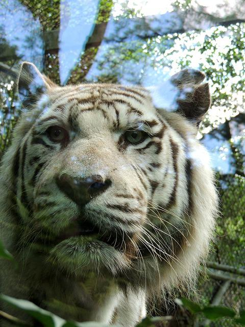 Tiger, White Tiger, Zoo, Predator, Wild, Reflection
