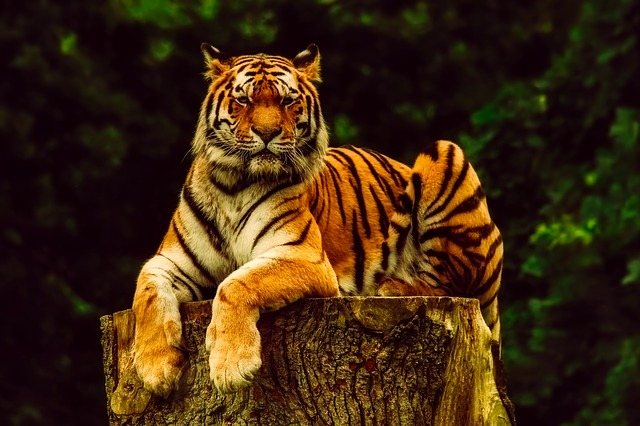 Tiger, Animal, Wildlife, Portrait, Predator, Nature