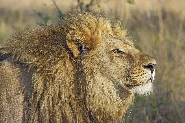 Lion, Big Cat, Predator, Safari, Wilderness, Wildlife