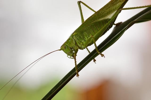 Viridissima, Grasshopper, Insect, Wing, Eyes, Predator