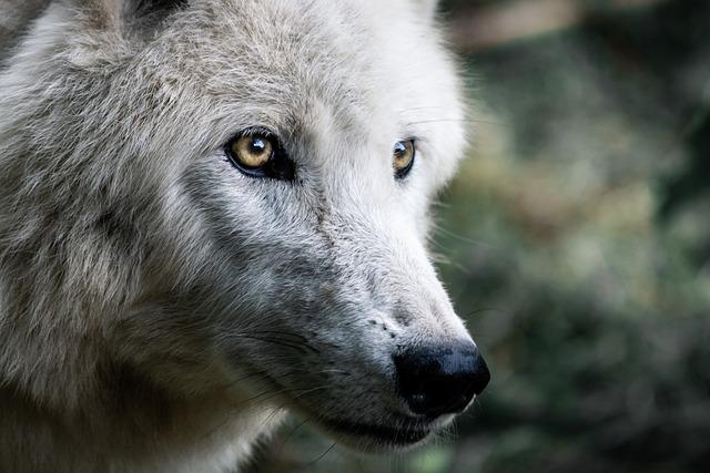 Wolf, Predator, Wolves, Mammals, Creature, Nature