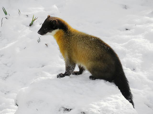 Marten, Yellow Throated Marten, Predator, Carnivores
