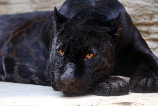 Black Panther, Jaguar, Feline, Predator, Zoo