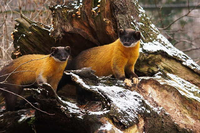 Yellow Throated Marten, Marten, Predators, Animals