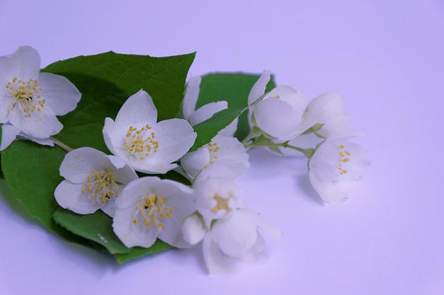 Jasmin, White, Branch, Blossom, Bloom, Flower, Pretty