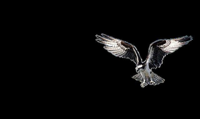 Eagle, Bird, Hawk, Wild, Animal, Prey, Beak, Wildlife
