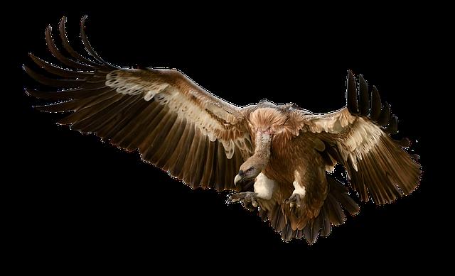 Vulture, Bird, Prey, Approach, Feather, Plumage, Nature