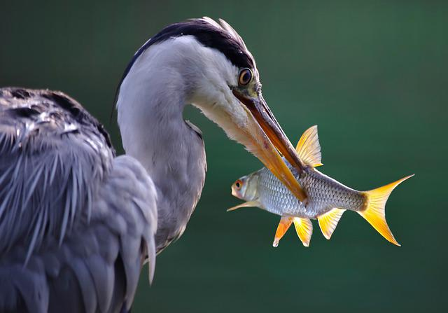 Heron, Grey Heron, Fish, Prey, Bird, Water Bird