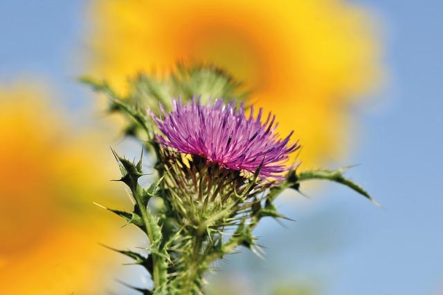 Thistle, Wild Flower, Prickly, Flower, Blossom, Bloom